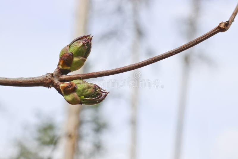 Germogli gonfiati con i fiori della bacca di sambuco in molla in anticipo contro un cielo blu immagini stock