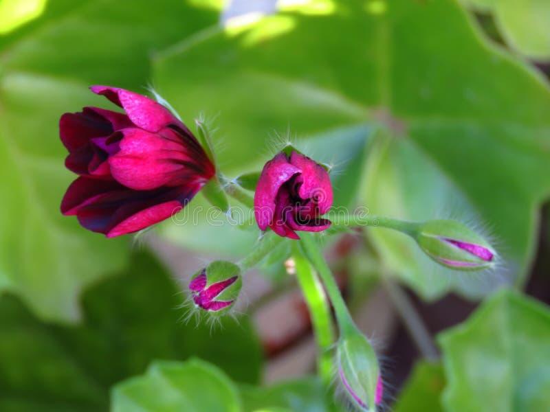 Germogli porpora del ` di Contessa del ` di Ivy Geraniums Pelargonium Peltatum fotografie stock