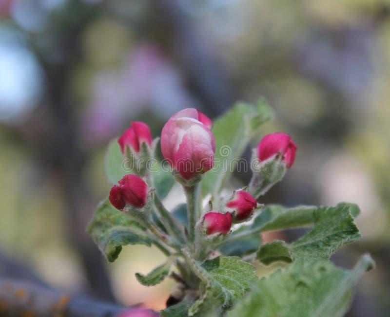 Germogli rosa della mela in foglie verdi fotografia stock