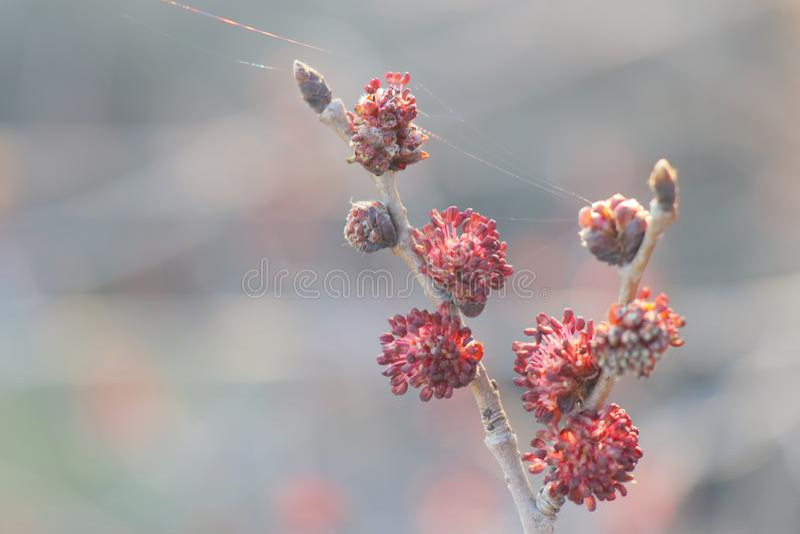 Germogli rossi su un bello fondo immagine stock