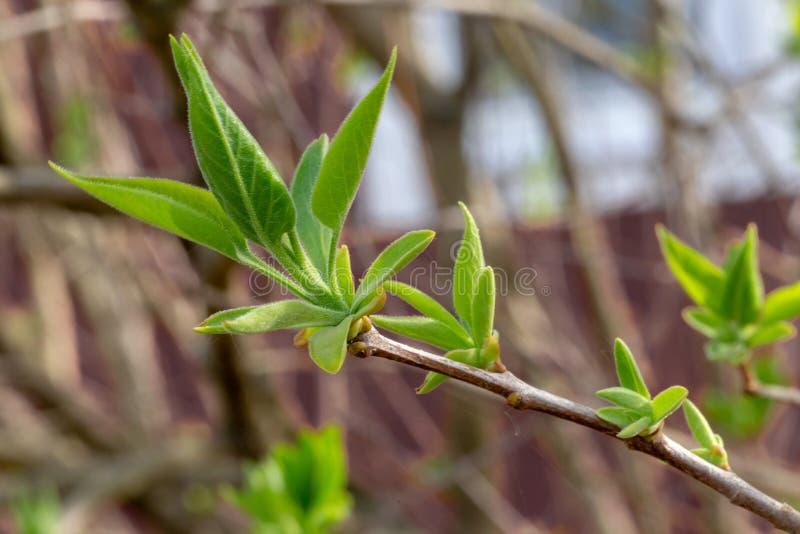Germogli sboccianti degli alberi fotografia stock