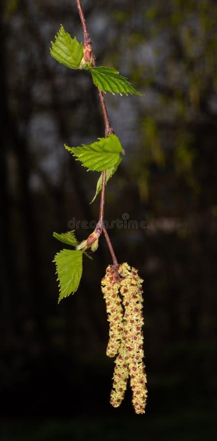 Germogli sboccianti della betulla, semi della betulla immagine stock