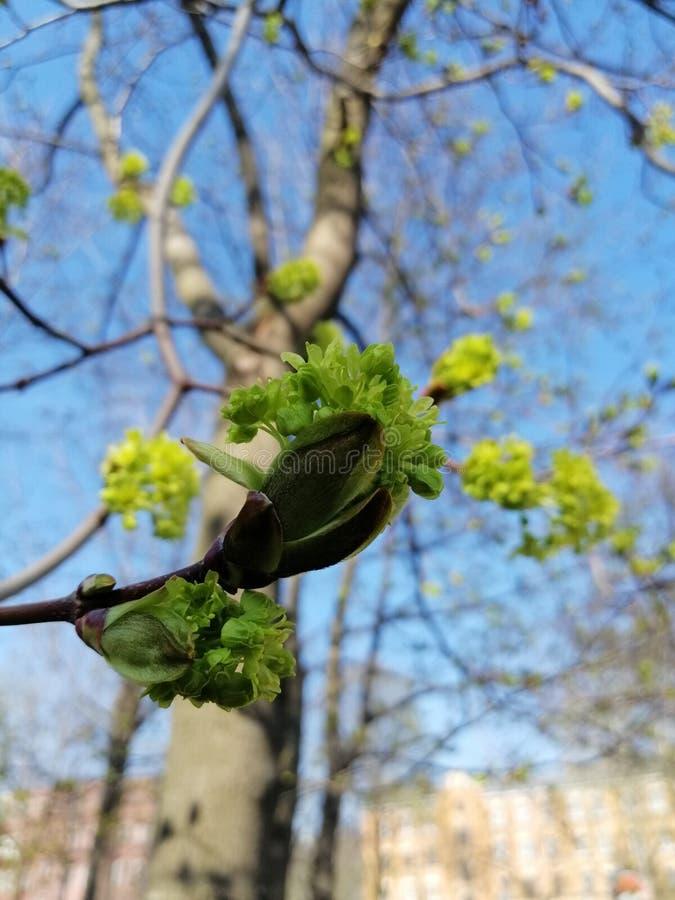 Germogli sboccianti verdi sugli alberi fotografia stock