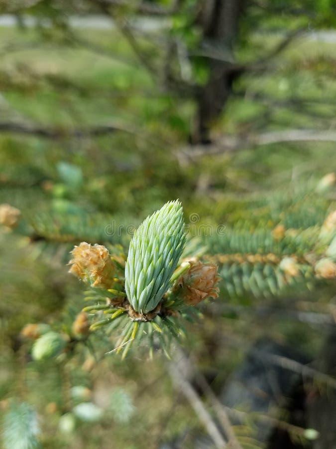 Germogli su un pino fotografia stock