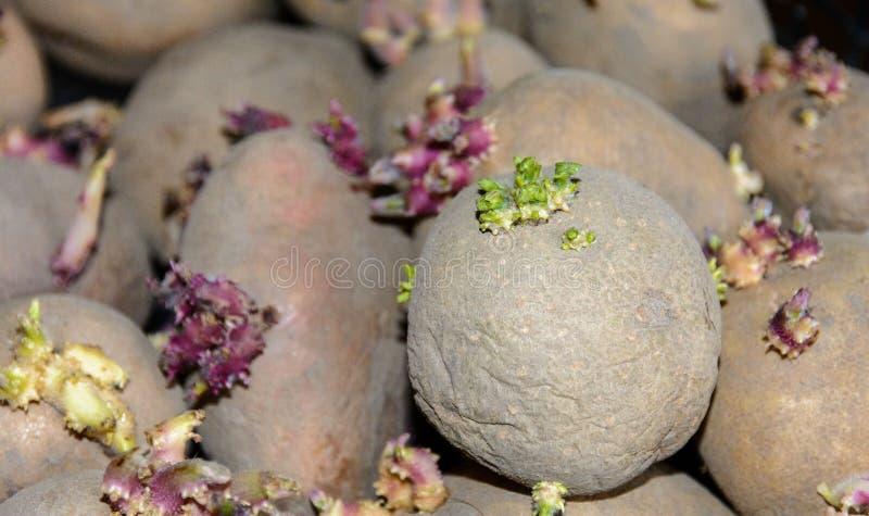 Germogli sui tuberi della patata Tuberi germogliati della patata per la piantatura nella terra Germogliare i tuberi della patata  fotografia stock libera da diritti