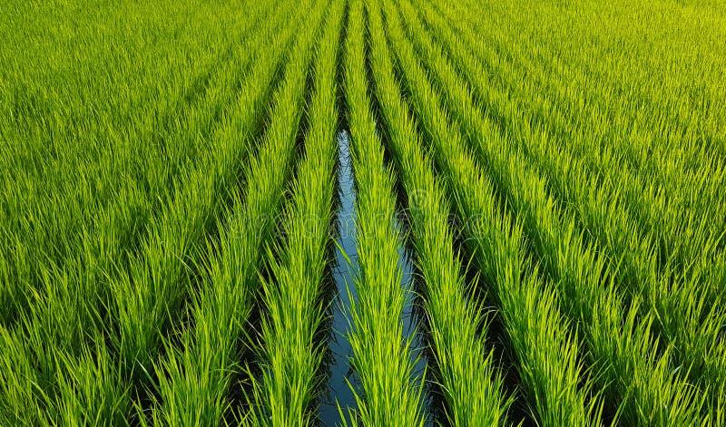 Germogli verdi del riso, anche file delle piante fotografia stock libera da diritti