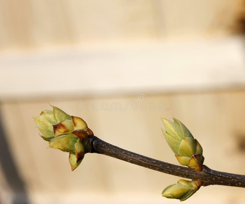 Germogli verdi sui rami in primavera Natura e fiorire nel tempo di primavera Priorit? bassa chiara di Bokeh immagine stock