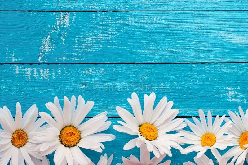 Germoglia le grandi margherite bianche su una superficie di legno blu immagini stock libere da diritti