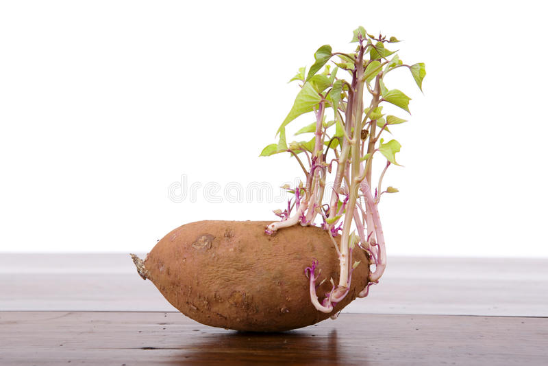 Germogliare della patata fotografia stock