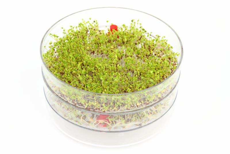 Germogliare i semi dei broccoli e della lenticchia fotografia stock libera da diritti