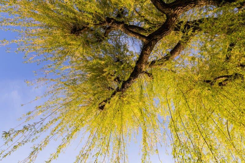Germogliare l'albero di salice con le foglie verdi nella stagione primaverile fotografie stock libere da diritti