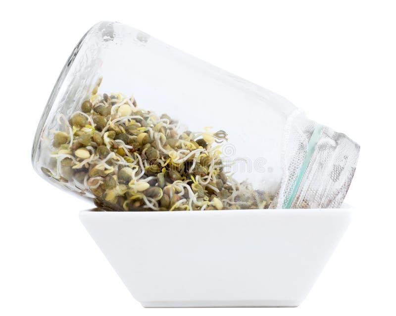 Germogliare le lenticchie verdi in barattolo fotografia stock