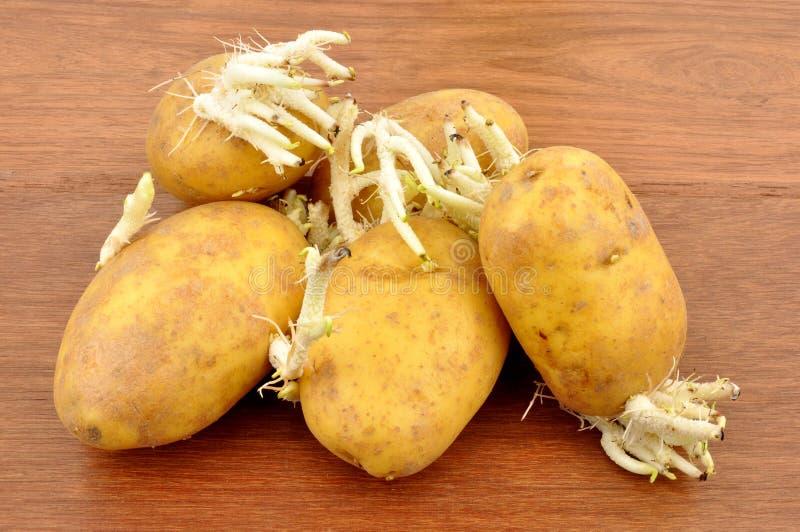 Germogliare le patate fotografie stock