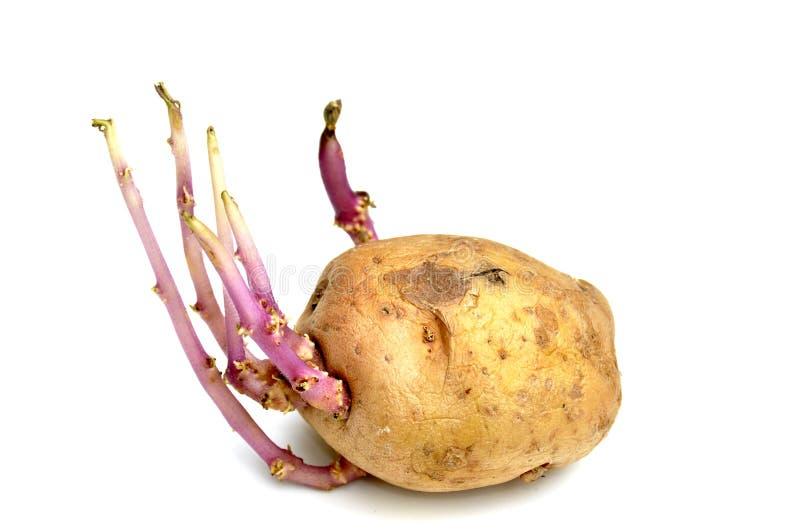 Germogliare patata fotografia stock libera da diritti
