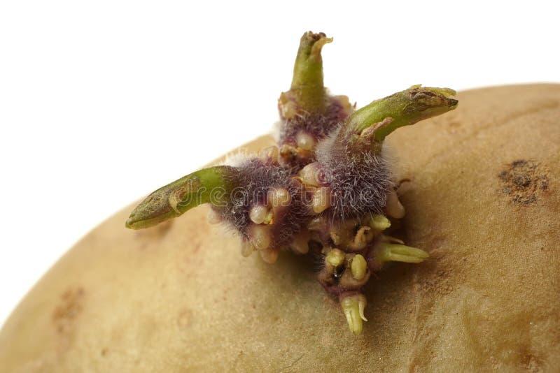 Germogliare patata solanum tuberosum Macro Isolato su bianco fotografie stock libere da diritti