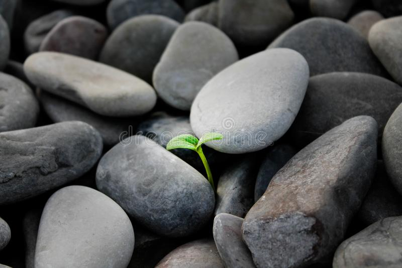 Germoglio coltivato fra le pietre fotografia stock libera da diritti
