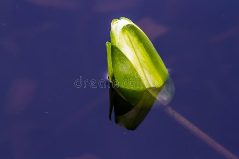 Germoglio del loto bianco fotografia stock libera da diritti