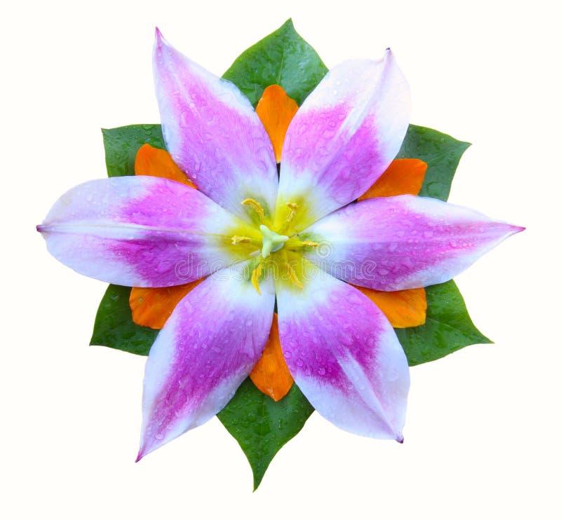 Germoglio del tulipano immagine stock libera da diritti
