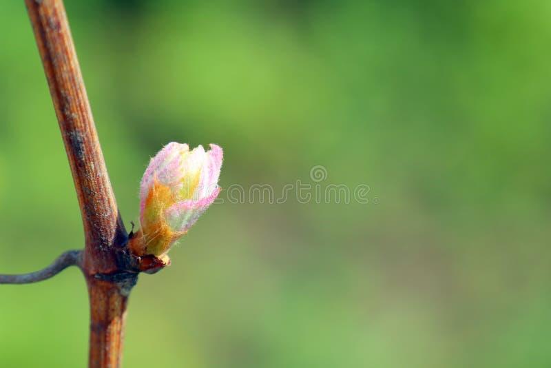 Germoglio dell'uva sui bei precedenti fotografia stock libera da diritti