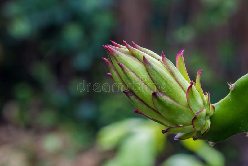 Germoglio della frutta del drago del primo piano nel giardino fotografia stock libera da diritti