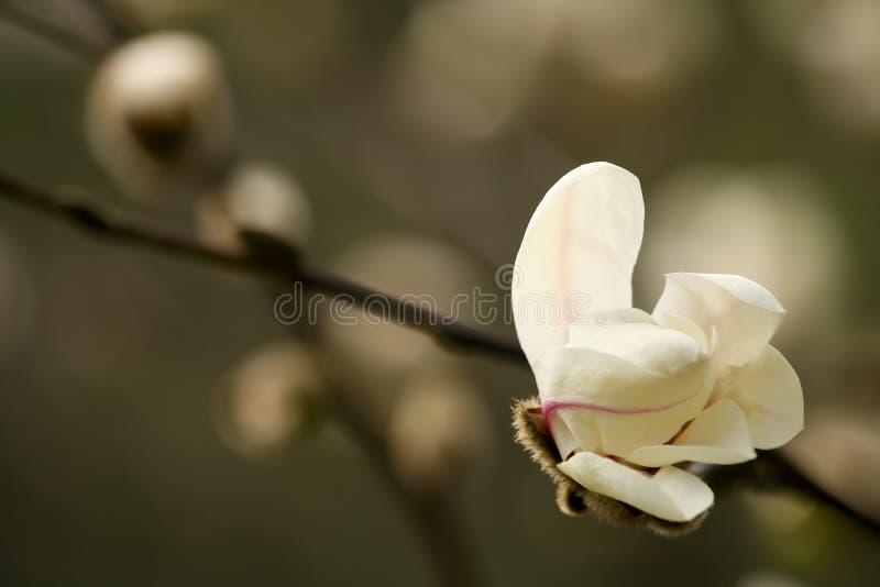 Germoglio della magnolia fotografie stock