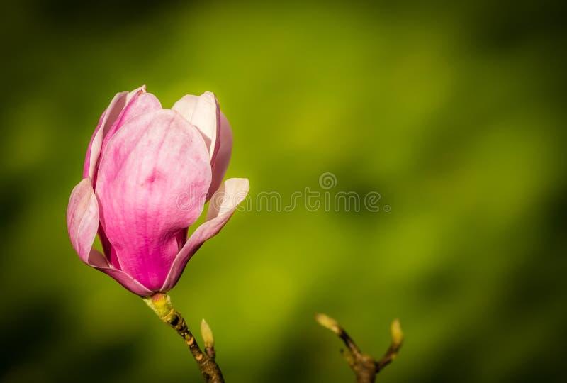 Germoglio della magnolia di apertura fotografie stock