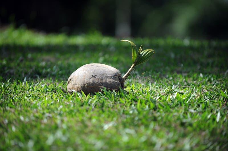 Germoglio della noce di cocco su erba immagine stock libera da diritti