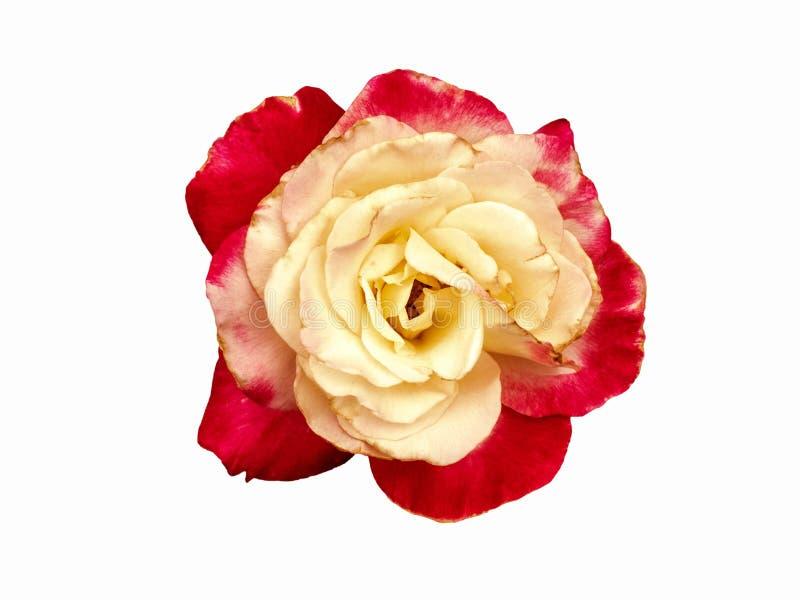 Germoglio della rosa di giallo Macro, fiore del primo piano isolato su fondo bianco Germoglio rosa ordinatamente scolpito, senza  fotografia stock libera da diritti