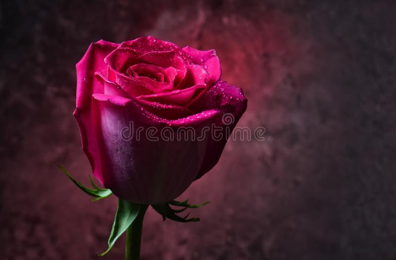 Germoglio della rosa di rosa nelle gocce di rugiada su un fondo scuro di un muro di cemento Sera romantica Luce rossa mistica immagini stock