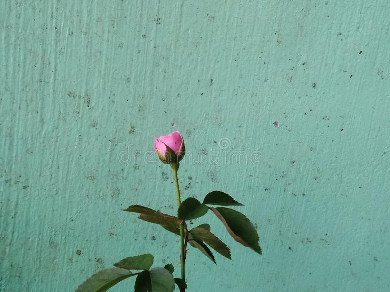 germoglio della rosa di rosa su fondo blu immagini stock libere da diritti