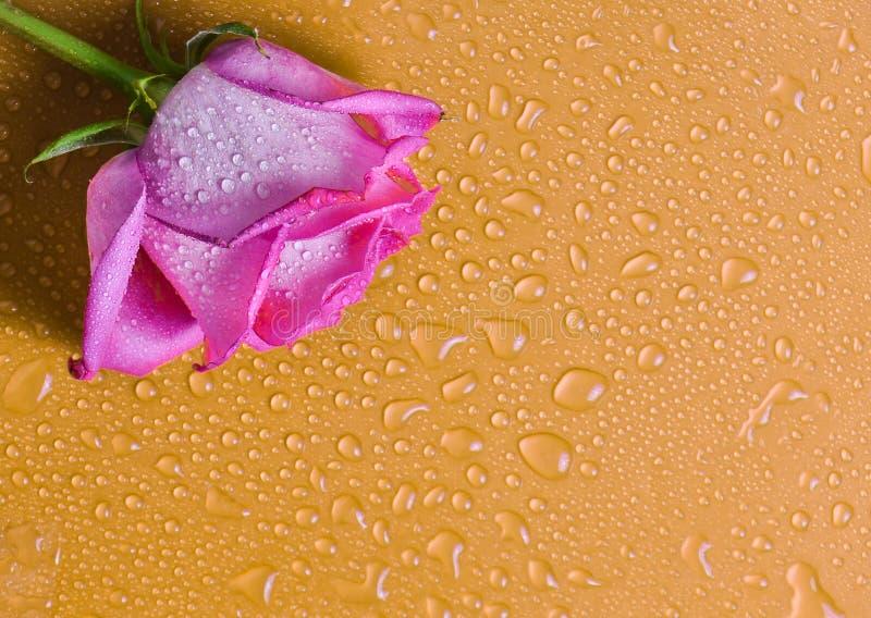 Germoglio della rosa di rosa su una superficie arancio nelle gocce di acqua Copi lo spazio immagini stock libere da diritti