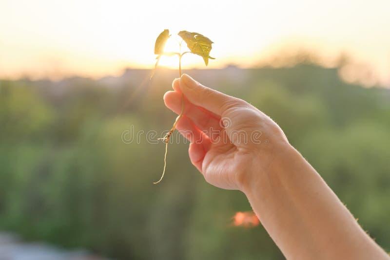 Germoglio della tenuta della mano di piccolo albero di acero, ora dorata della foto di tramonto concettuale del fondo immagini stock libere da diritti