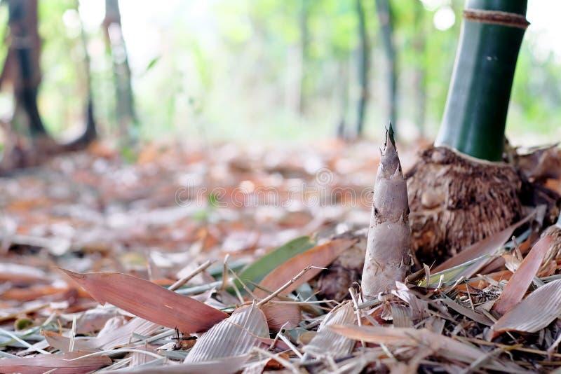 Germoglio di bambù fotografie stock