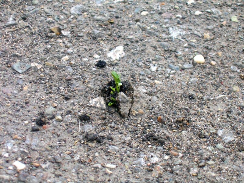 Germoglio di crescita che fa il suo modo attraverso l'asfalto fotografia stock libera da diritti