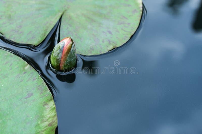 Germoglio di fiore alto vicino del loto nello stagno immagine stock