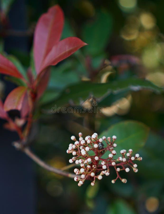 Germoglio di fiore bianco sbocciante fotografia stock libera da diritti