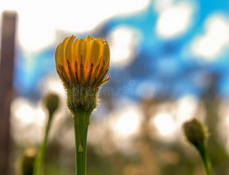 Germoglio di fiore del dente di leone contro il cielo di primo mattino fotografia stock