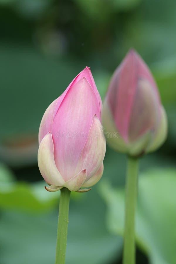 Germoglio di fiore del loto immagine stock libera da diritti