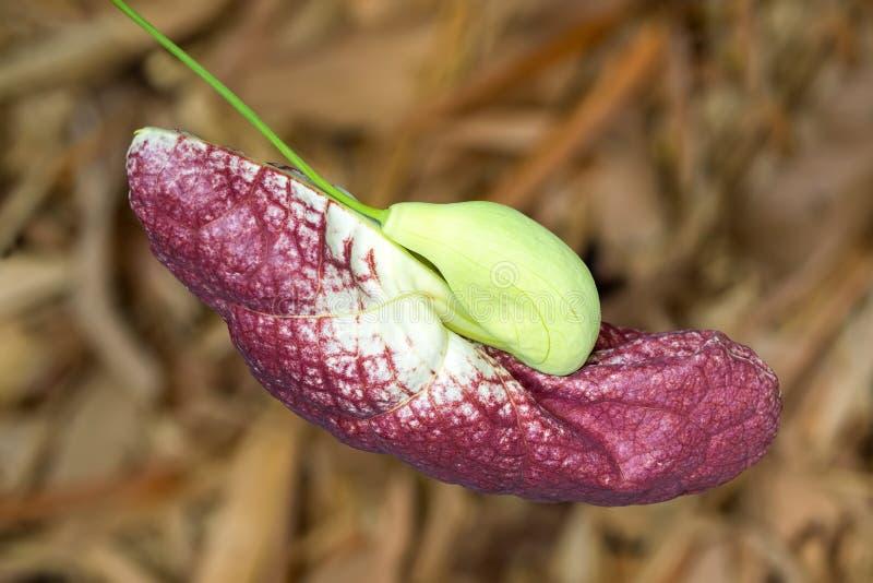 Germoglio di fiore della floricultura gigante del pellicano del tubo dell'olandese brasiliana a Singapore immagine stock