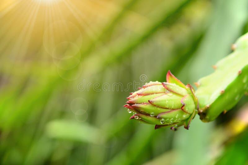 Germoglio di fiore della frutta del drago con le gocce di acqua immagine stock libera da diritti
