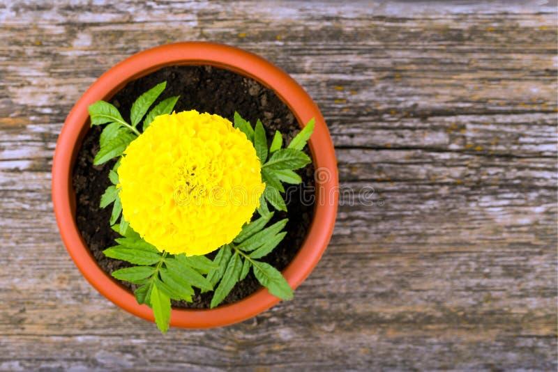 Germoglio di fiore fertile del tagete in un vaso fotografia stock libera da diritti