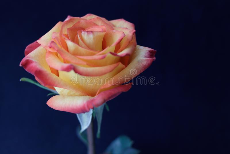 Germoglio di fioritura di una rosa giallo-rossa su un fondo scuro fotografia stock libera da diritti