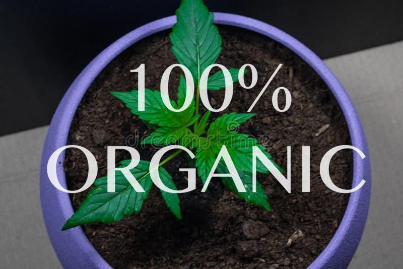 Germoglio di marijuana medica Pianta di marijuana che cresce all'interno canapa Legalizzazione dappertutto fotografia stock libera da diritti