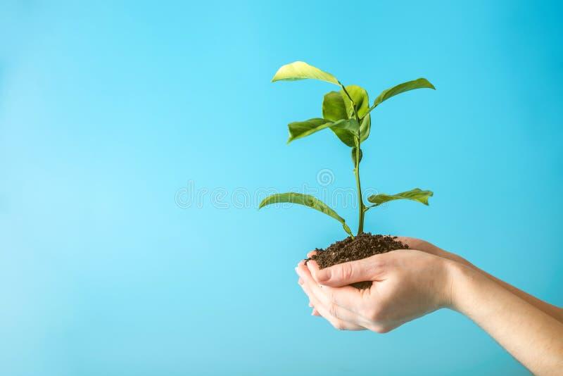 Germoglio di nuovo albero verde in suolo in mani umane su fondo blu Concetto di protezione dell'ambiente Giorno di terra immagini stock