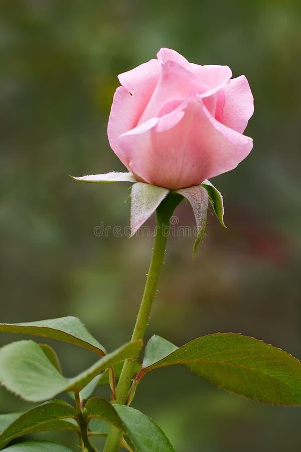 Germoglio di rosa di colore rosa fotografia stock libera da diritti