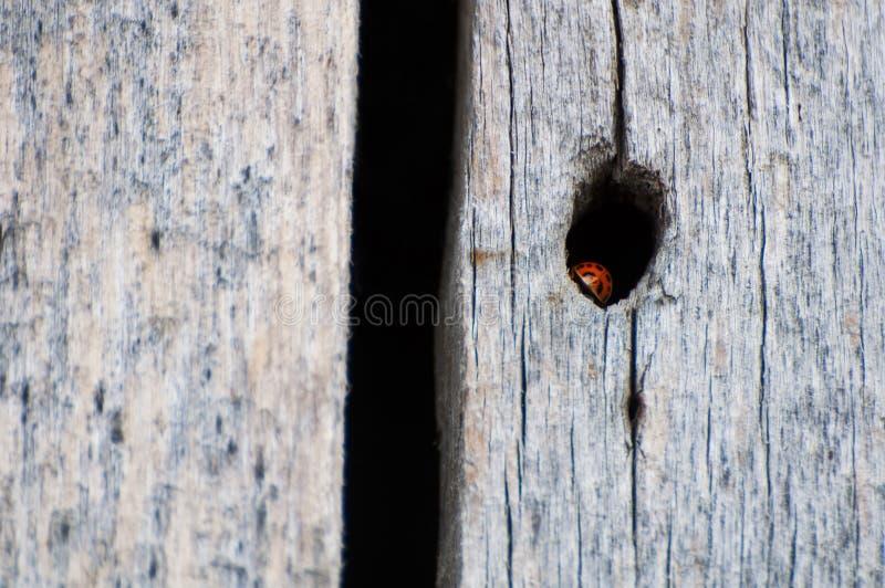 Germoglio di signora che hidding in un foro di legno fotografia stock