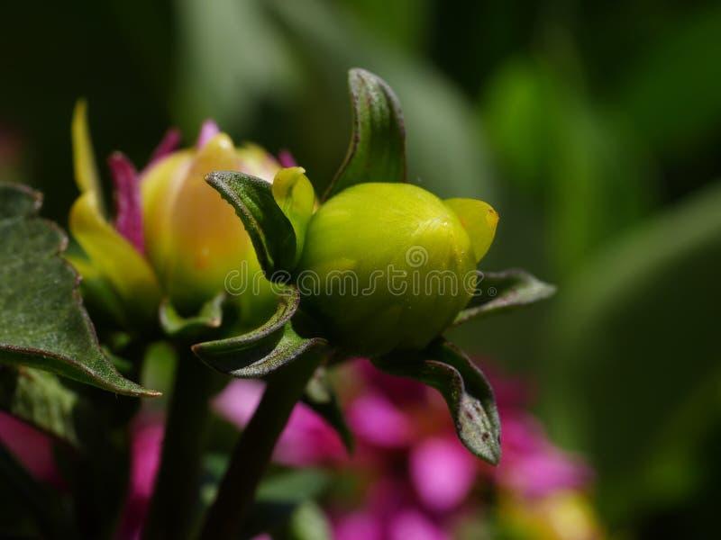Germoglio di un fiore fotografie stock