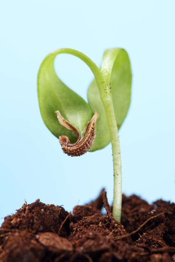 Germoglio di un semenzale della pianta immagine stock