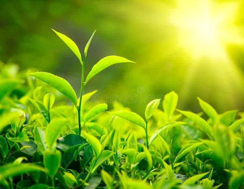 Germoglio e fogli del tè immagini stock libere da diritti
