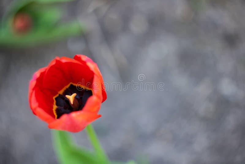 Germoglio fertile rosso di una fine del tulipano su fotografia stock